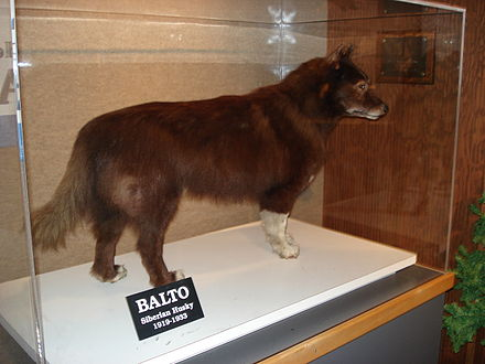 Balto's remains at the Cleveland Museum of Natural History. Balto CLE.JPG