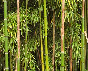 Bambus im Schlosspark von Richelieu in Frankreich