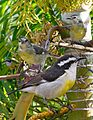 Bananaquit From The Crossley ID Guide Eastern Birds.jpg