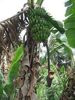 Banaanin Ravintoarvo