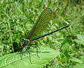 Banded Demoiselle. Calopteryx splendens.^ Female - Flickr - gailhampshire.jpg