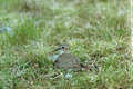 Banded dotterel on nest, Te Waihora.png