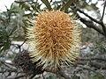 Banksia marginata -澳洲塔斯曼尼亞 Mt Amos, Tasmania- (10868117933).jpg