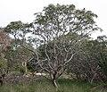 Banksia prionotes tree.JPG