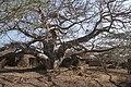 Baobab tree takwa.jpg