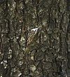 Bar-tailed Treecreeper I IMG 7308