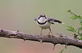Bar-throated Apalis, Apalis thoracica, at Marakele National Park, Limpopo, South Africa (15783993093).jpg