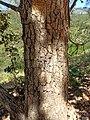 Bark of Quercus rugosa (Fagaceae).jpg