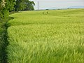 Barley, Bothampstead - geograph.org.uk - 814163.jpg