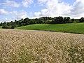 Barley Country, Magherafelt - geograph.org.uk - 520712.jpg