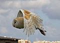 Barn Owl 2 (6796263232).jpg