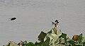 Barn Swallow (Hirundo rustica) in Kolkata W IMG 3421.jpg