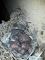 Barn swallow Nest 20190411 143603.jpg