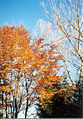 Bayr.Herbstbaum.jpg