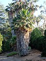 Bearded Palm, Prospect Park, Redlands, CA 7-12 (7644749620).jpg