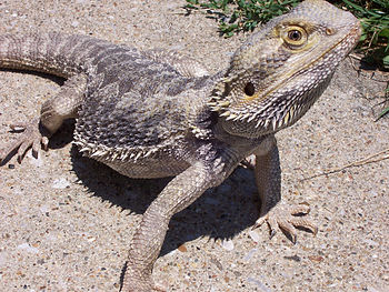 A W:Bearded Dragon lizard