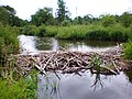 Beaver dam on Smilga.JPG