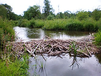 Ecosystem engineer - Beaver dam on Smilga River in Lithuania