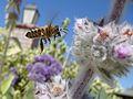 Bee In Flight.jpg