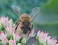 Bee on Pink Flowers (52138942).jpg