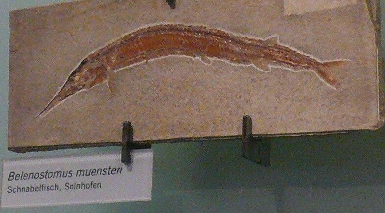 Belonostomus muensteri