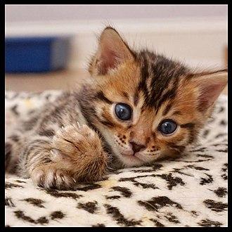 "Bengal cat - A Bengal kitten, with ""mascara"" markings (horizontal striping alongside the eyes)"