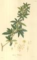 Berberis wallichiana. Wallich. Plantae Asiaticae Rariores, vol. 3, plate 243.png