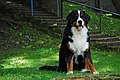 Bernese Dog 10m..jpg
