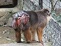 Beruk Mentawai Macaca pagensis back.JPG