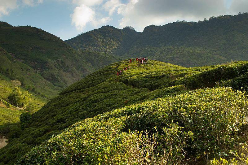 File:Bhotechaur teagarden.jpg