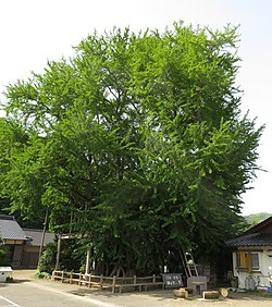 Big Ginkgo Tree in Kin, Tsushima.jpg