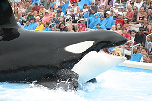 English: Shamu (Ulises) at Sea World San Diego...