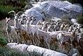 Bighorn Sheep (21068055400).jpg