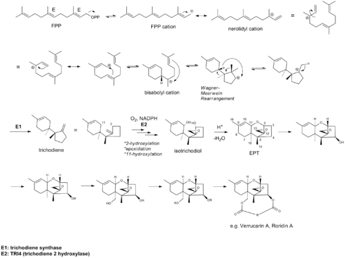 Biosynthesis of Verrucarin A.png