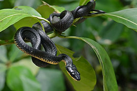 Bird-eating snake (7607449358).jpg