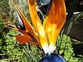 Bird of paradise (Strelitzia reginae) 03.jpg