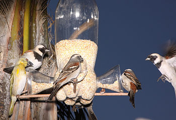 English: Birds around a bird feeder made from ...