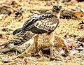 Birds of Maharashtra2.jpg