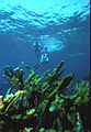 Biscayne National Park V-dive down snorkel on elkhorn.jpg