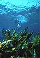 Biscayne National Park V-dive down snorkel on elkhorn.jpg