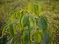 Bischofia javanica P1130752.jpg