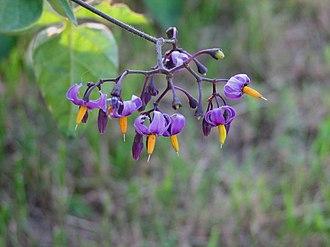 Solanum dulcamara - Image: Bitterweet Nightshade 2