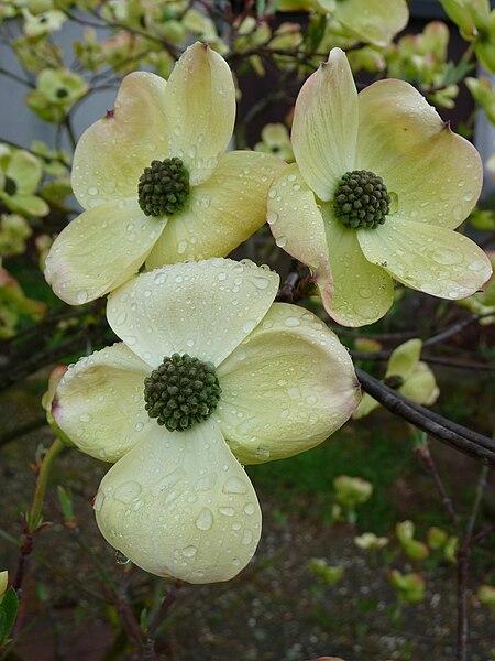 Cornus florida (flowering dogwood).  Wikimedia Commons