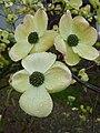 Blüten-Hartriegel.JPG