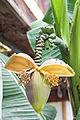 Blütenstand einer Banane (21298003929).jpg