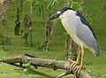 Black-crowned Night-Heron (33344433855).jpg