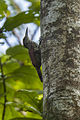 Black-striped Woodcreeper - Panama H8O3162 (16569409959).jpg