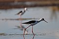 Black-winged Stilts (24176501170).jpg