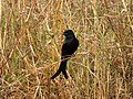 """Black Beauty are indicators of the environment """"DRONGO"""".jpg"""