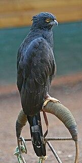 Black hawk-eagle species of bird